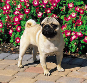 Pug Dog Breed in garden